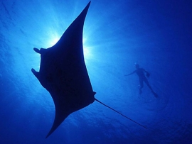 Fiji's Yasawas - Swim with Mantas