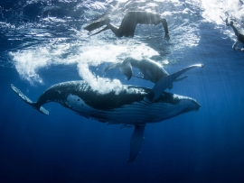 Tonga - Swim with the whales